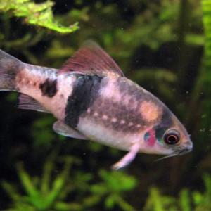 Puntius fasciatus