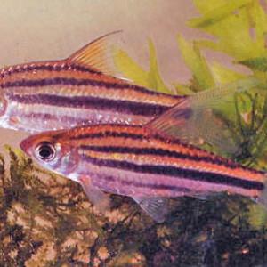 Puntius johorensis