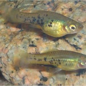 Xiphophorus meyeri
