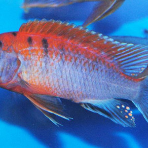 "ZZ Labidochromis ""Hongi Red Top"""