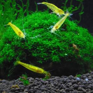 Neocaridina davidi var. yellow