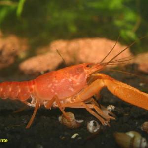 Procambarus milleri
