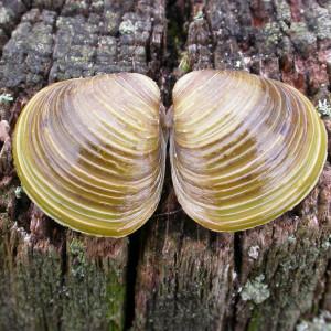 Corbicula fluminea (Müller,1774)