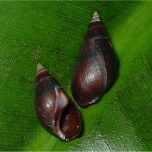 Melanopsis praemorsa (LINNAEUS 1758)