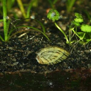 Neripteron tahitensis (lesson 1830)