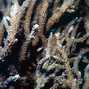 Acropora sirikitiae