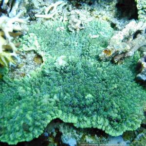 Hydnophora exesa