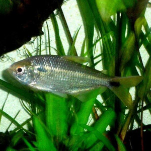 Astyanax bimaculatus