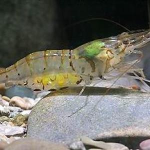 Macrobrachium lamarrei lamarrei