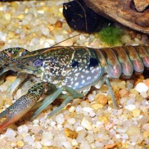 Procambarus pubescens