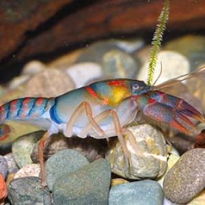 Procambarus pygmaeus
