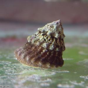 Lithopoma tectum