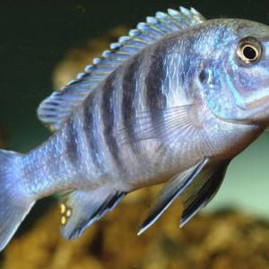 Labidochromis heterodon