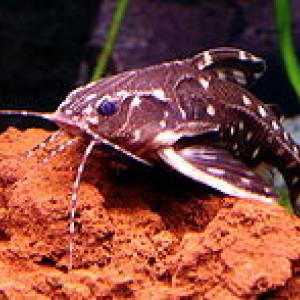 Hypodoras forficulatus