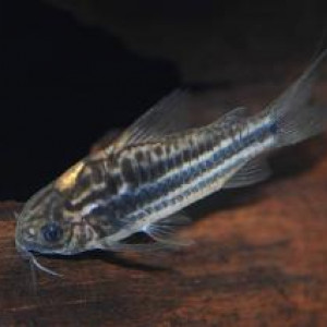 Corydoras bilineatus