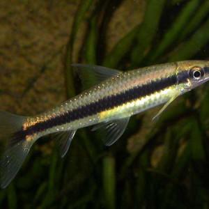 Crossocheilus oblongus (ex Crossocheilus siamensis)