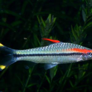 Puntius chalakkudiensis