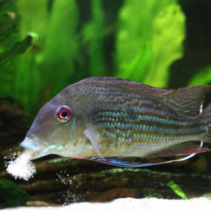 ZZ Geophagus species Tamanaco