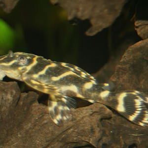 ZZ Hypancistrus sp. L270