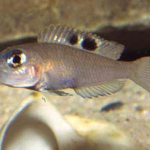 Neolamprologus kungweensis
