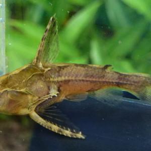 Physopyxis lyra