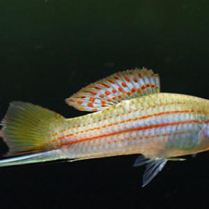 Xiphophorus mayae