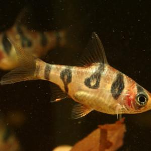 Puntius rhomboocellatus