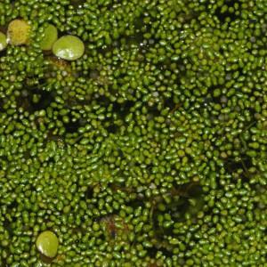 Wolffia arrhiza