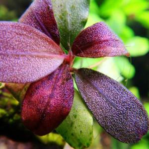 Bucephalandra brownie metellica