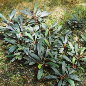 Bucephalandra sp. belindae