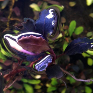 Bucephalandra fire bird