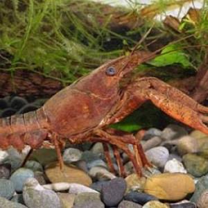Procambarus acanthophorus