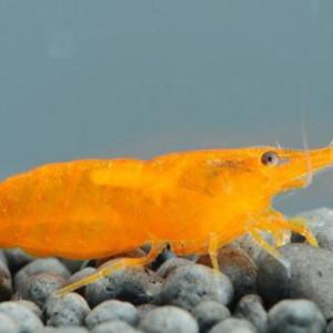 Neocaridina davidi var. orange