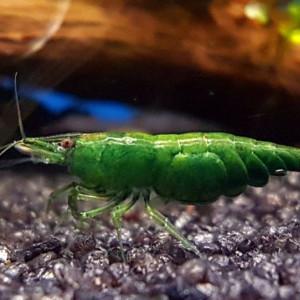 Neocaridina davidi var. green jade