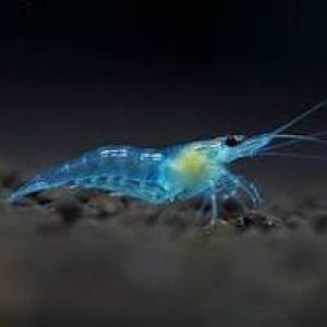 Neocaridina davidi var. blue jelly