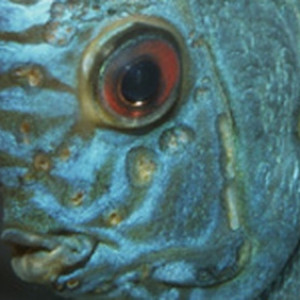 Hexamitose (hexamita symphysodonis)