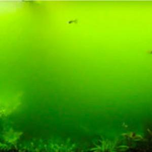 Chlorophyte (algue verte)