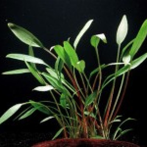 "Cryptocoryne willisii var. ""augustifolia"""