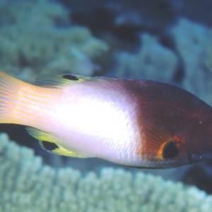 Bodianus axillaris
