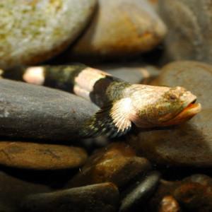 Schismatogobius ampluvinculus