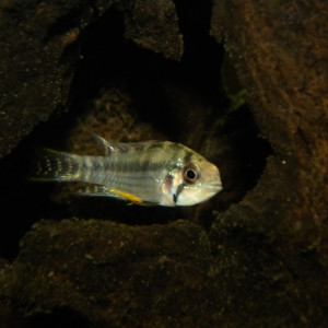 Apistogramma salpinction