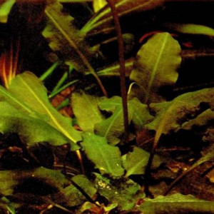 Aponogeton tenuispicatus