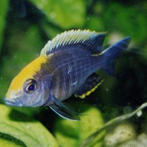 Aulonocara maylandi kandeensis