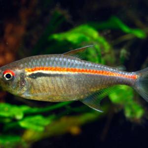 Hyphessobrycon amapaensis