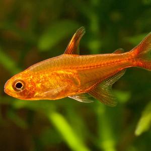 Hyphessobrycon amandae