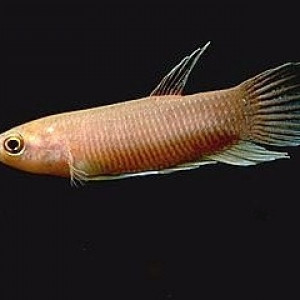 Betta anabatoides
