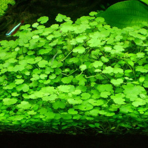 Hydrocotyle dissecta