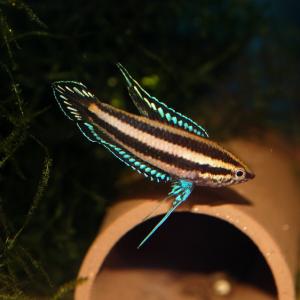 Parosphromenus deissneri