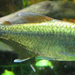 Hyphessobrycon eos