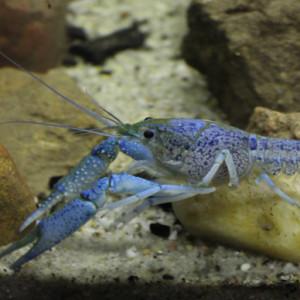 Procambarus enoplosternum